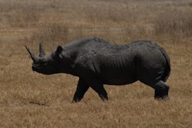 rinoceronte negro.jpg