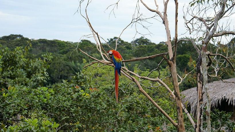 Guacamaya posada en árbol del Amazonas