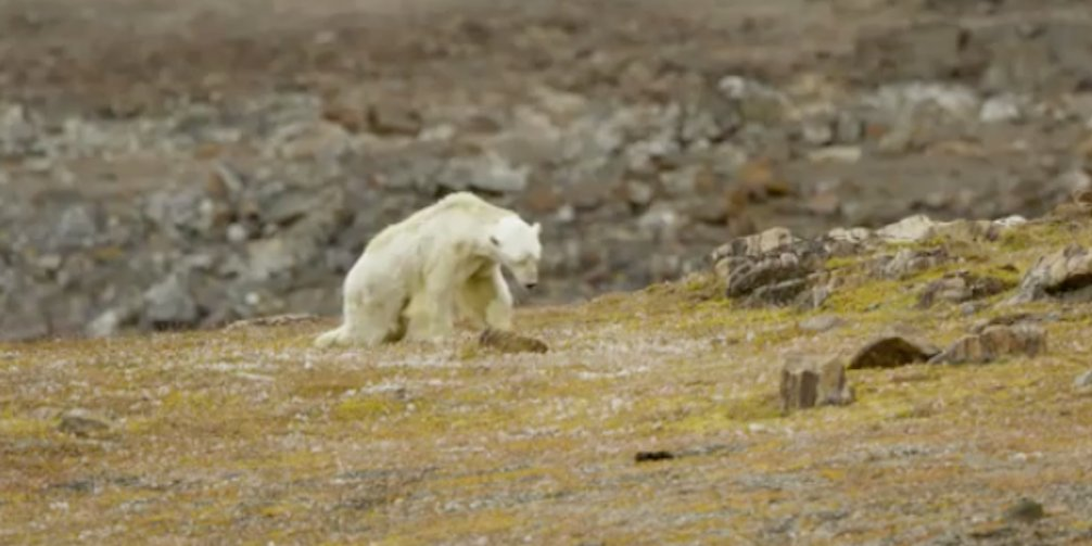 Oso polar hambriento en tierra seca